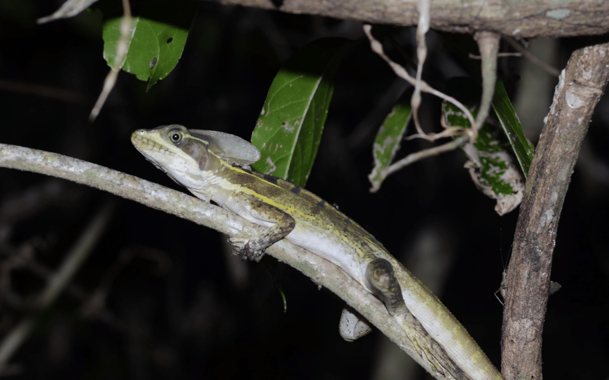 Reptile and Amphibian Encounters in Mayan ruins