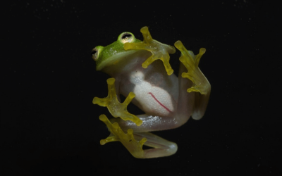 Glamorous Glass frogs… jewels of the forest.