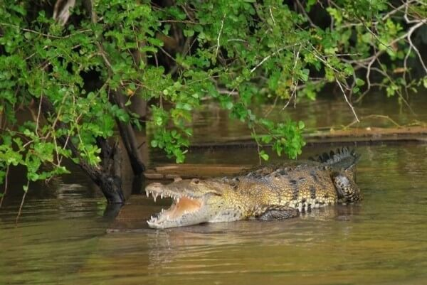 Meet the crocodiles and river turtles of the San Pedro River