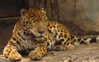 Review: Journey To Meet The Jaguar!