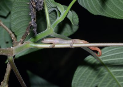 Bolitoglossa helmrichi, Alta Verapaz mushroom tongue-salamander