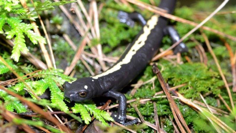 Salamander extravaganza in Guatemala