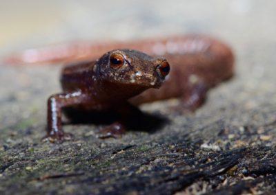 Bolitoglossa helmrichi, Helmrichs climbing salamander