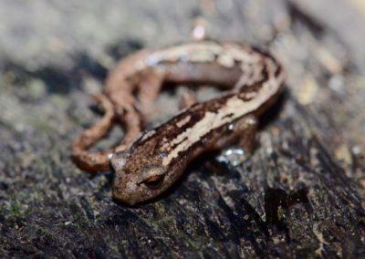 Bolitoglossa helmrichi Helmrichs climbing salamander