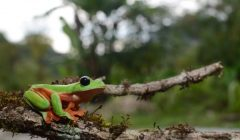 The cloud forests of Alta Verapaz are a hotspot for Central American amphibian and reptile species!