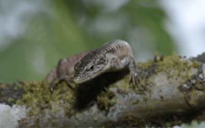 Abronia – alligator lizards of the cloud forests