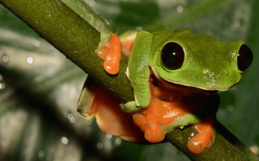 Endangered Amphibians In The Cloud Forests