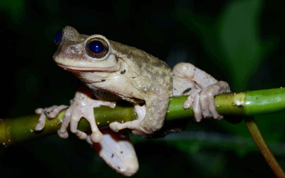 Plectrohyla teuchestes – spikethumb frogs on the brink of extinction