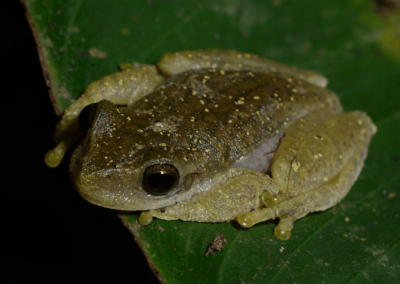 Endangered amphibians of Guatemala